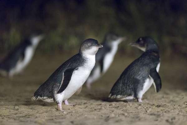 Pinguin_Parade